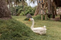 Real white goose on the grass outdoors. Bali island, Indonesia. Asia stock images