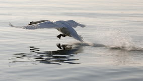 Real white swan in flight. A real white swan in flight Stock Image