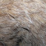 Real wild cat fur Stock Photography