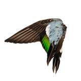 Real wild duck bird wing angel brown grey green blue white background Stock Image