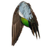 Real wild duck bird wing angel brown grey green blue white background Stock Photography