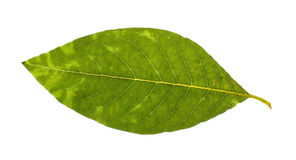 Real willow leaf isolated Stock Photography