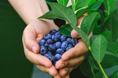 Real woman with handful of freshly picked blueberries. Fresh blue berries fruits presented in girl hands. Conceptual picture for. Healthy vegetarian lifestyle stock photography