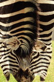Real zebra skin Royalty Free Stock Photography