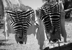 Real zebra skin Stock Image