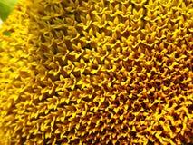 Reale Blumen einer Sonnenblumeknospe. Lizenzfreie Stockfotografie