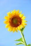 Reale Sonnenblume Lizenzfreies Stockfoto