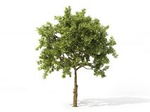 Realistic apple tree isolated on a white. 3d illustration. Realistic apple tree full of leaves isolated on a white. 3d illustration Royalty Free Stock Image