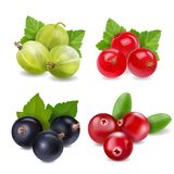 Realistic berries set with cranberry, red currants, gooseberry and black currant on white background isolated Royalty Free Stock Photo