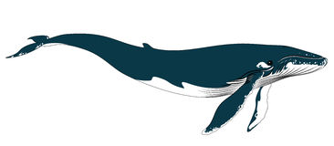 Realistic big blue whale on a white background. Vector illustration of realistic big blue whale on a white background Stock Photo
