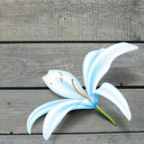 Realistic blue lily flower. Vector illustration Stock Photos