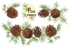 Realistic Botanical ink sketch of colorful fir tree branches with pine cone isolated on white background. Good idea for stock illustration