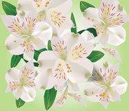 Realistic bouquet of lily flowers Royalty Free Stock Images