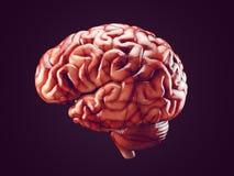 Realistic brain illustration Stock Photography