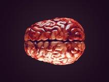 Realistic brain illustration Stock Image