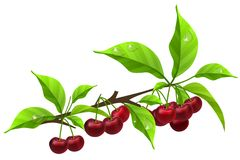 Realistic branch with ripe cherry Royalty Free Stock Photography