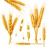 Realistic bunch of wheat, oats or barley isolated on white background. Vector set of wheat ears. Grains of cereals vector illustration