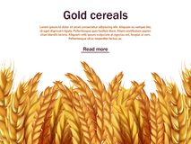 Realistic cereals vector background template. Ears of rye, wheat, barley isolated on white backdrop. Agriculture cereal plant, seed and grain harvest Royalty Free Stock Photo