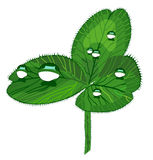 Realistic clover with drops Royalty Free Stock Photo