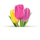 Realistic Colorful Tulips in  Background. Editable Vector Illustration Stock Photography