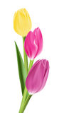 Realistic Colorful Tulips in Isolated Background Stock Image