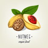 Realistic colour nutmeg with leaves and seeds. Vector icon of nuts isolated on background. Royalty Free Stock Photo