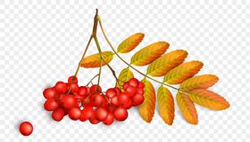 Realistic 3d mesh rowan branch isolated on a transparent background.   Royalty Free Stock Photography