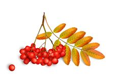 Realistic 3d mesh rowan branch isolated on a white background. Rowan branch with orange leaves and ashberry. Vector. Realistic 3d mesh rowan branch isolated on a Royalty Free Stock Image