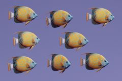 3D Render of Blue Ring Angel Fish. Realistic 3D Render of Blue Ring Angel Fish Royalty Free Stock Photos