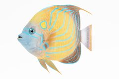 3D Render of Blue Ring Angel Fish. Realistic 3D Render of Blue Ring Angel Fish Royalty Free Stock Photo