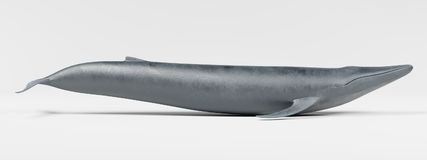 3D Render of Blue Whale. Realistic 3D Render of Blue Whale Stock Image
