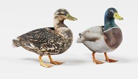 3D Render of Ducks. Realistic 3D Render of Ducks Stock Photography