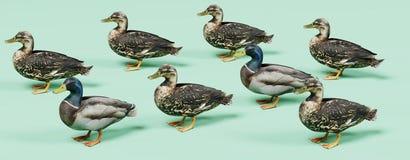 3D Render of Ducks. Realistic 3D Render of Ducks Stock Image
