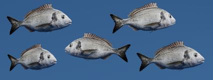 3D Render of Gilthead Bream Fish. Realistic 3D Render of Gilthead Bream Fish Stock Photos