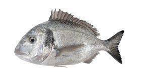 3D Render of Gilthead Bream Fish. Realistic 3D Render of Gilthead Bream Fish Royalty Free Stock Photography