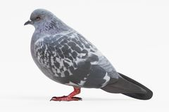 3D Render of Pigeon Stock Images