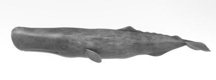 3D Render of Sperm Whale. Realistic 3D Render of Sperm Whale Stock Image