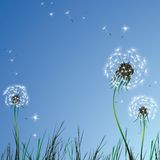 Realistic dandelions Stock Images