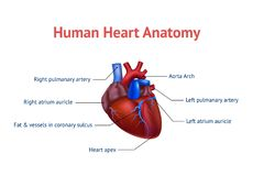 Realistic Detailed 3d Human Anatomy Heart Card Poster. Vector. Realistic Detailed 3d Human Anatomy Heart Card Poster Closeup View Cardiovascular Organ a Body Stock Photo
