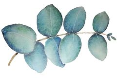 Eucalyptus Leaf With Watercolor vector illustration