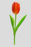 Photorealistic vector illustration of a tulip on a white background. Realistic Flower Tulip. Tulip in Vector eps10 Royalty Free Stock Images