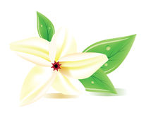 A  realistic frangipani flower Royalty Free Stock Image