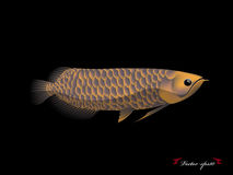 Realistic graphic design vector of arowana fish with black background Royalty Free Stock Images