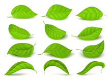Realistic green tea leaves with water drops isolated on white vector set Stock Photography