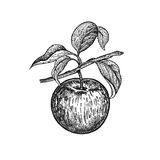Realistic hand drawing apple. royalty free illustration