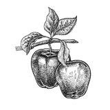 Realistic hand drawing apple. vector illustration
