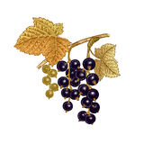 Realistic hand drawing black currant berries. stock illustration