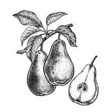 Realistic hand drawing pears. vector illustration