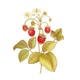 Realistic hand drawing strawberries. Strawberries. Realistic color vector illustration plant. Hand drawing berries. Red fruit, green leaf, branch isolated on Royalty Free Stock Image