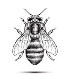 Realistic honey bee isolated on a white background. Black white drawing. Graphic illustration for your design.  Royalty Free Stock Photo
